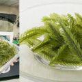 東京大学の伊豆大島海洋深層水研究中に、地元の漁師さんからもたらされた「シーパイン」
