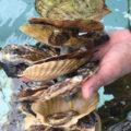 久米島の海洋深層水で世界初の一貫した陸上養殖される安全な牡蠣